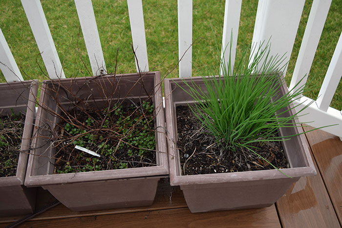 Fresh Chives and Mint